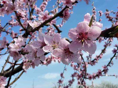 Pfirschblüte